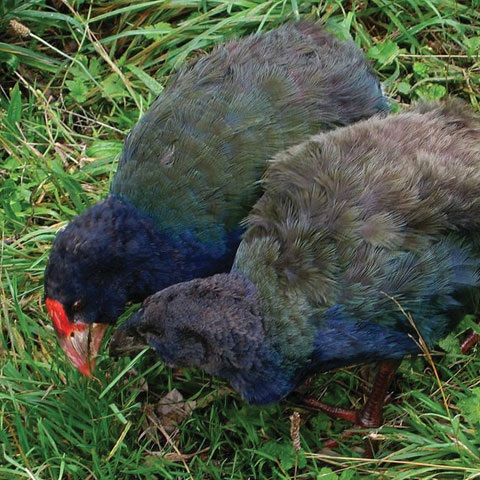 Here are some takahe