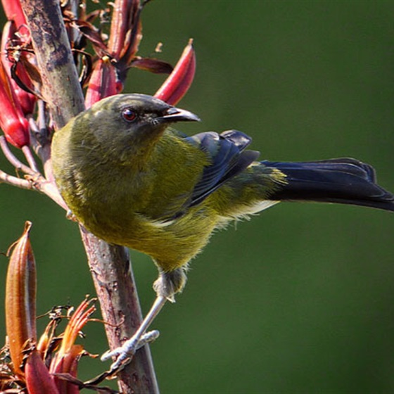 The Bellbird
